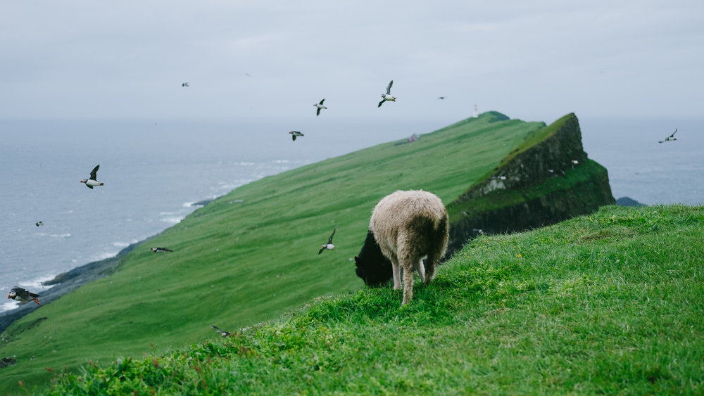 A sheep grazing on the island of Mykines