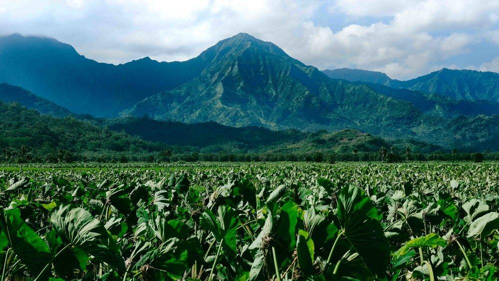 The taro fields of Kauai