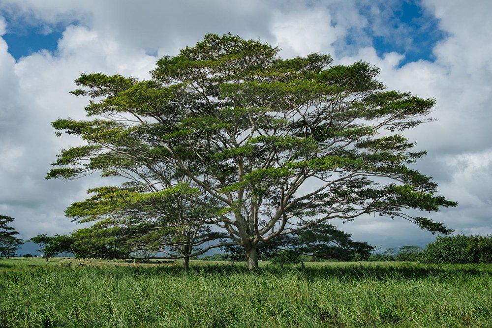 A beautiful giant lone tree