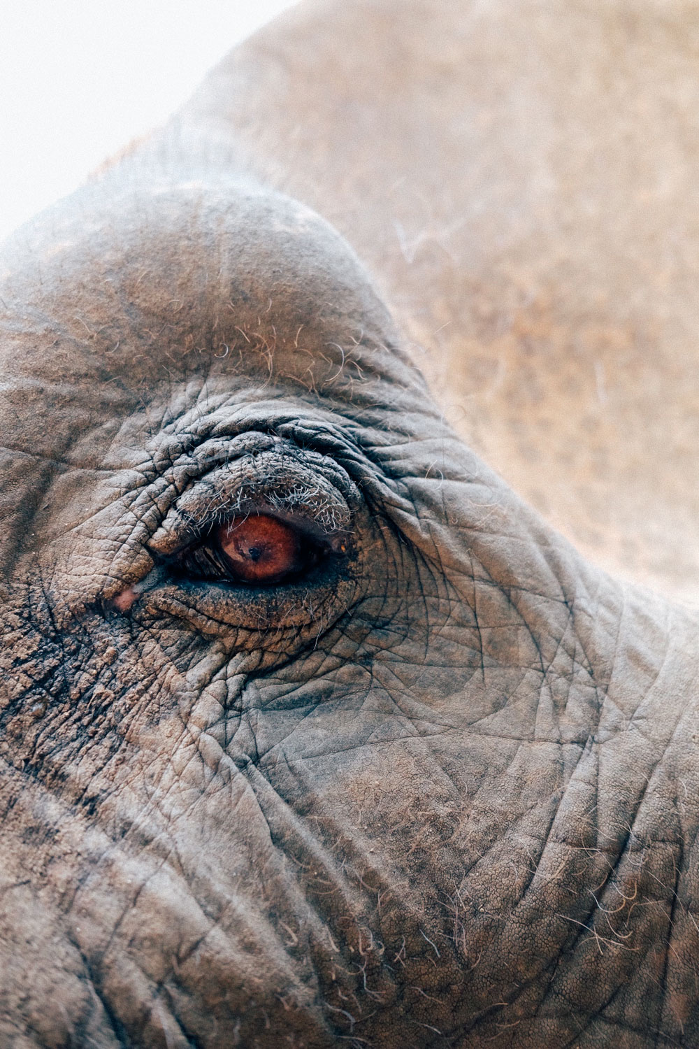 A closeup of one of our elephants