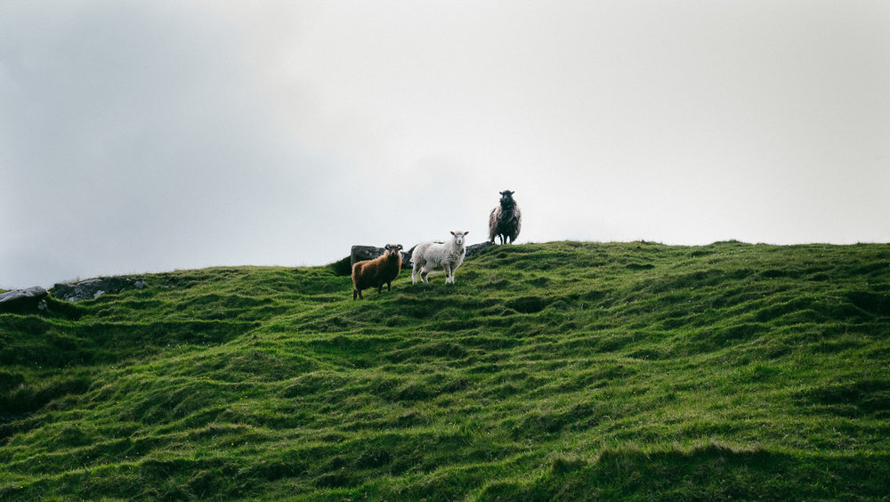 Different coloured sheep from the Faroe Islands