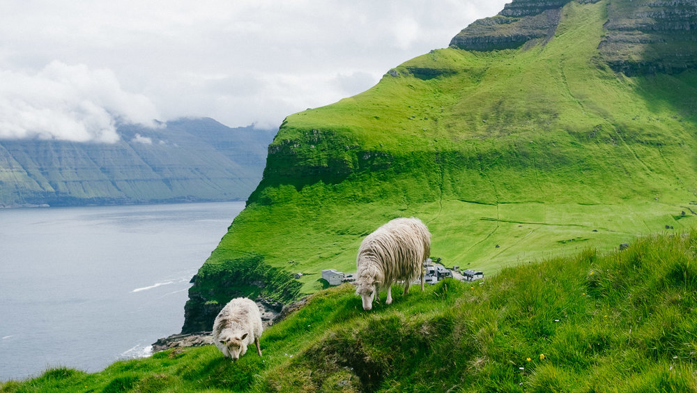 Sheep grazing in the Faroe Islands