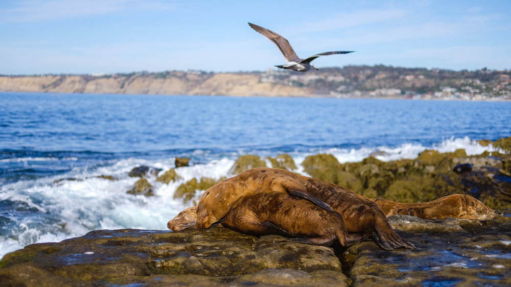 "A guide to 2 days exploring the natural beauty of San Diego. This photo blog includes an itinerary, map and tips. San Diego travel guide by ""And Then I Met Yoko"". Photography by Natasha Lequepeys #sandiego #california #travelguide #photoblog #travelblog #usa #sealions #fujifilm #travelphotography #landscapephotography #naturephotography #travelitinerary #2dayssandiego #pwc #westcoast #nature #californiadreaming #pointloma #rosecranscemetery #lajolla"