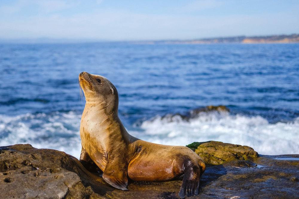 Sea lion striking a pose