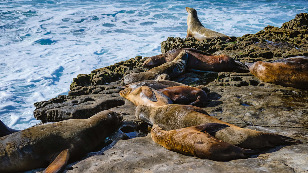 "Sea lions sleeping in La Jolla - travel photography and guide by © Natasha Lequepeys for ""And Then I Met Yoko"". #sandiego #travelguide #fujifilm #travelphotography #landscapephotography"