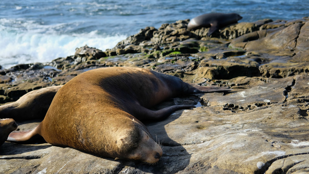 "A sea lion sleeping in La Jolla - travel photography and guide by © Natasha Lequepeys for ""And Then I Met Yoko"". #sandiego #travelguide #travelblog #fujifilm #travelphotography #landscapephotography"