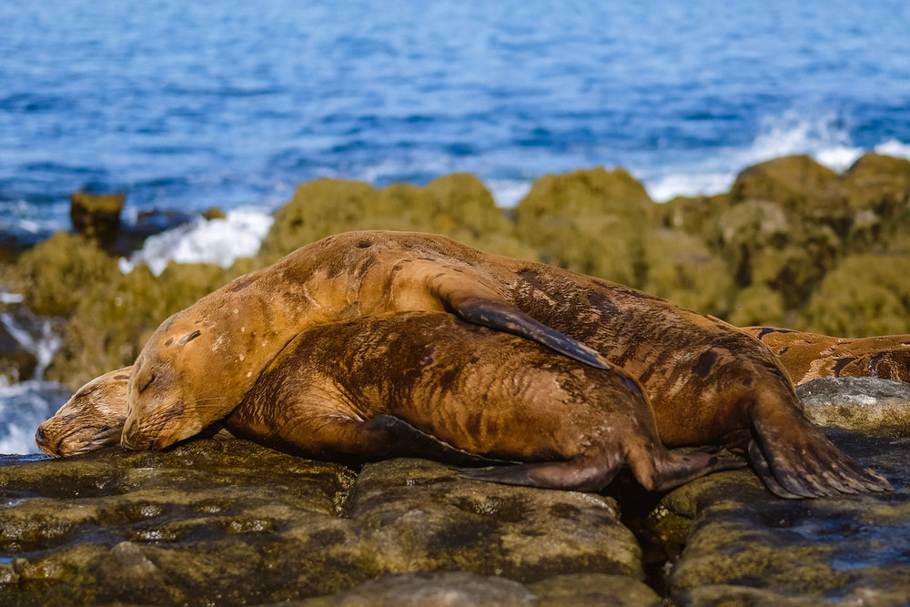 "2 sea lions sleeping in La Jolla, San Diego - travel photography and guide by © Natasha Lequepeys for ""And Then I Met Yoko"". #sandiego #california #travelguide #photoblog #travelblog #usa #sealions #fujifilm #travelphotography #landscapephotography #naturephotography #travelitinerary #2dayssandiego #pwc #westcoast #nature #californiadreaming #pointloma #rosecranscemetery #lajolla"