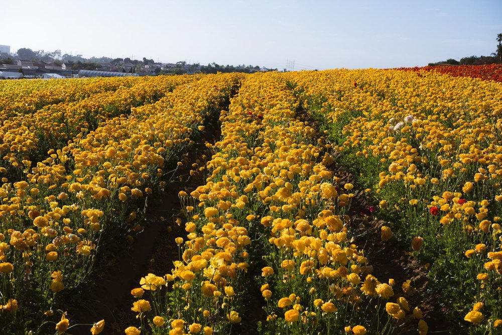 "Yellow flower fields in Carlsbad - travel photography and guide by © Natasha Lequepeys for ""And Then I Met Yoko"". #sandiego #travelguide #landscapephotography"
