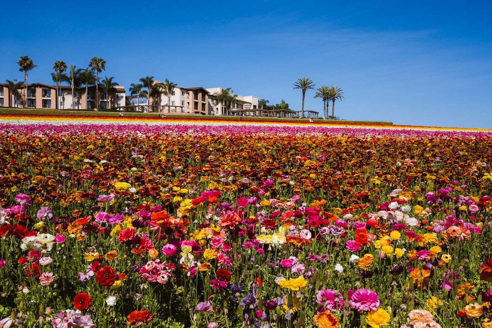 "Flower Fields Farm in Carlsbad - travel photography and guide by © Natasha Lequepeys for ""And Then I Met Yoko"". #sandiego #travelguide #landscapephotography"