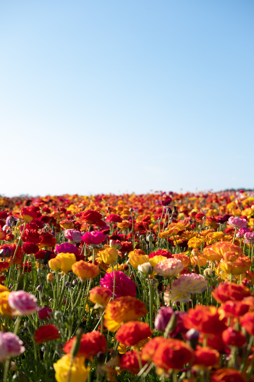 "The Flower Field Farm in Carlsbad, San Diego - travel photography and guide by © Natasha Lequepeys for ""And Then I Met Yoko"". #sandiego #california #travelguide #photoblog #travelblog #usa #sealions #fujifilm #travelphotography #landscapephotography #naturephotography #travelitinerary #2dayssandiego #pwc #westcoast #nature #flower #carlsbadflowerfields #flowerfields #flowerfarm"