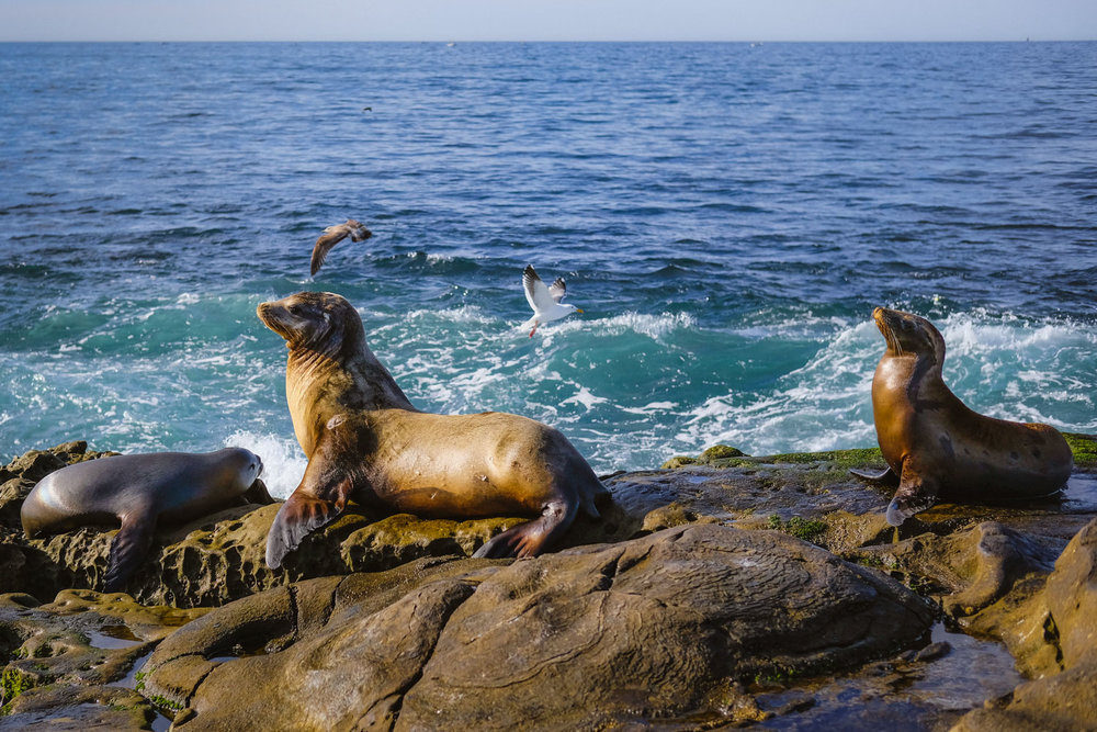 "Sea lions on the rocks in La Jolla - San Diego travel guide by ""And Then I Met Yoko"". Photography by Natasha Lequepeys #travelphotography #travelblog #sandiego"