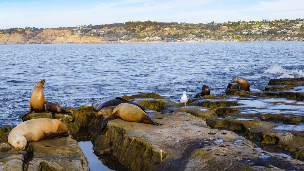 "Sea lions relaxing on the rocks - San Diego travel guide by ""And Then I Met Yoko"". Photography by Natasha Lequepeys #travelphotography #travelblog #sandiego"