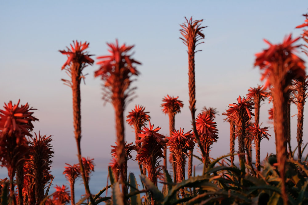 "Flowers at sunset - San Diego travel guide by ""And Then I Met Yoko"". Photography by Natasha Lequepeys #travelphotography #travelblog #sandiego"