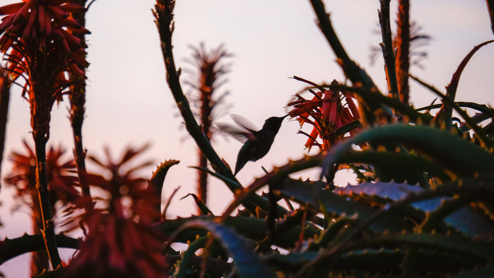 "A hummingbird at sunset - San Diego travel guide by ""And Then I Met Yoko"". Photography by Natasha Lequepeys #travelphotography #travelblog #sandiego"