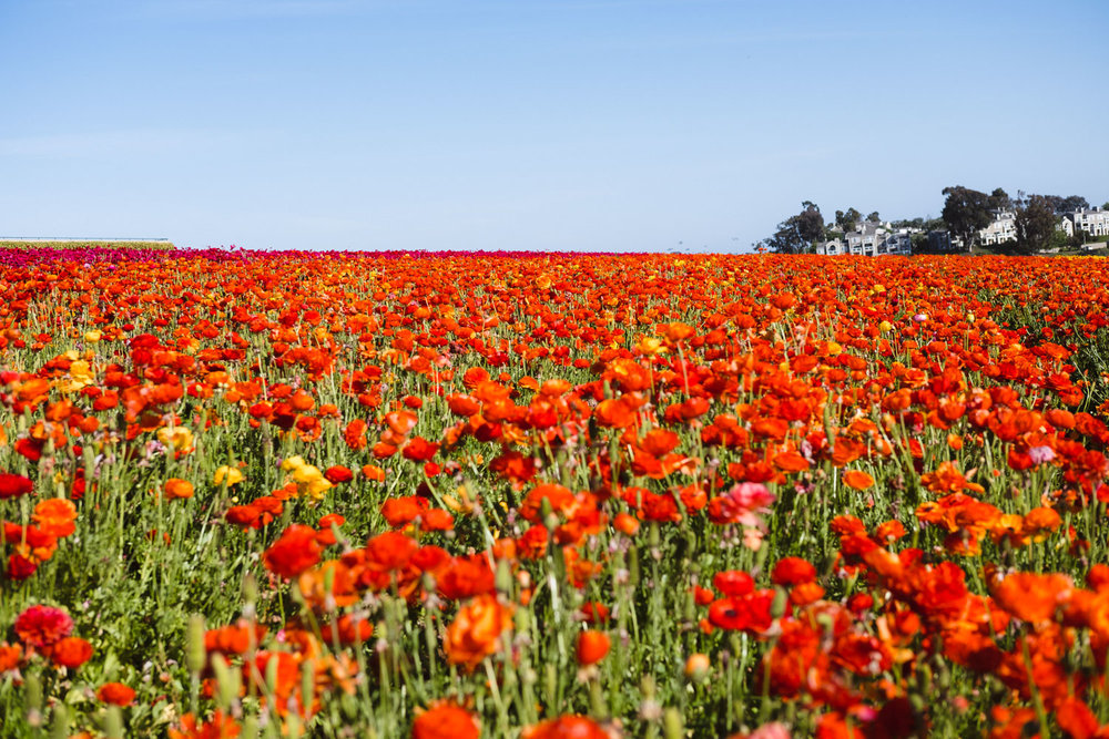 "The Flower Fields Farm in Carlsbad - San Diego travel guide by ""And Then I Met Yoko"". Photography by Natasha Lequepeys #travelphotography #travelblog #sandiego"