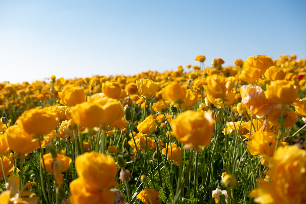 "Yellow flowers at The Flower Field Farm - San Diego travel guide by ""And Then I Met Yoko"". Photography by Natasha Lequepeys #travelphotography #travelblog #sandiego"