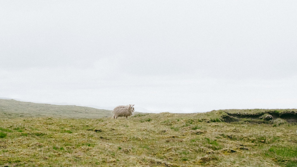A sheep in the Faroe Islands