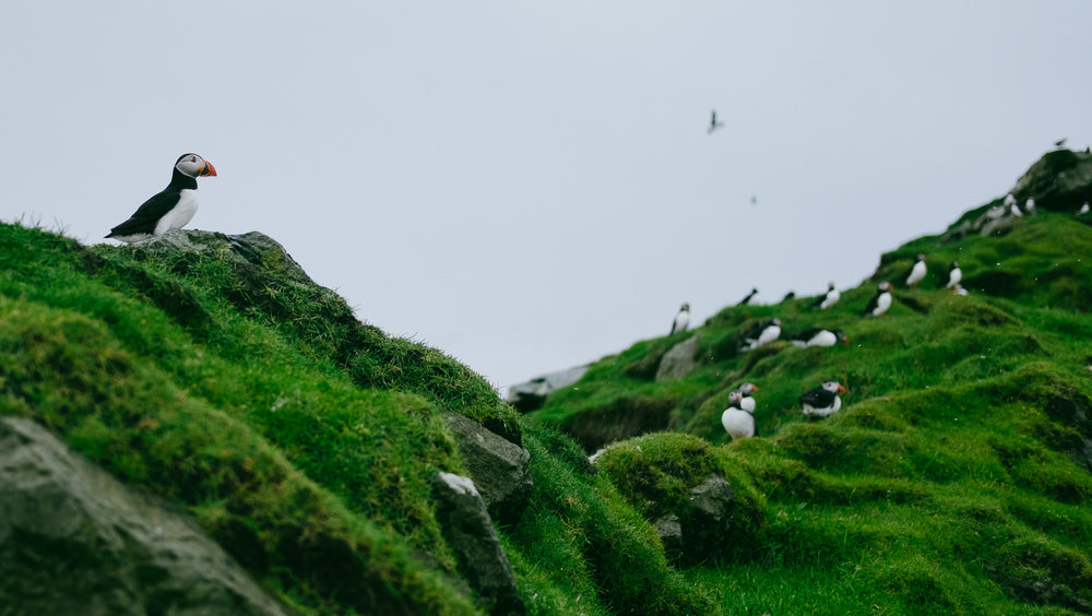 Puffins in the summer on Mykines