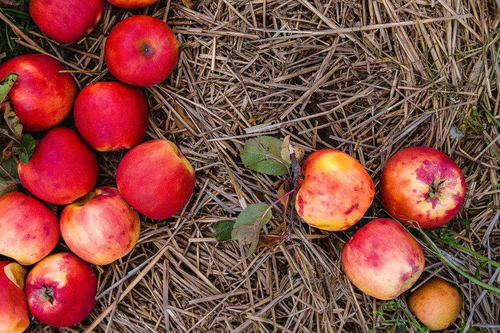 Spend an autumn day picking apples at Chudleigh's Apple Farm near Toronto. #applepicking #toronto #chudleighs #travelguide #photoblog