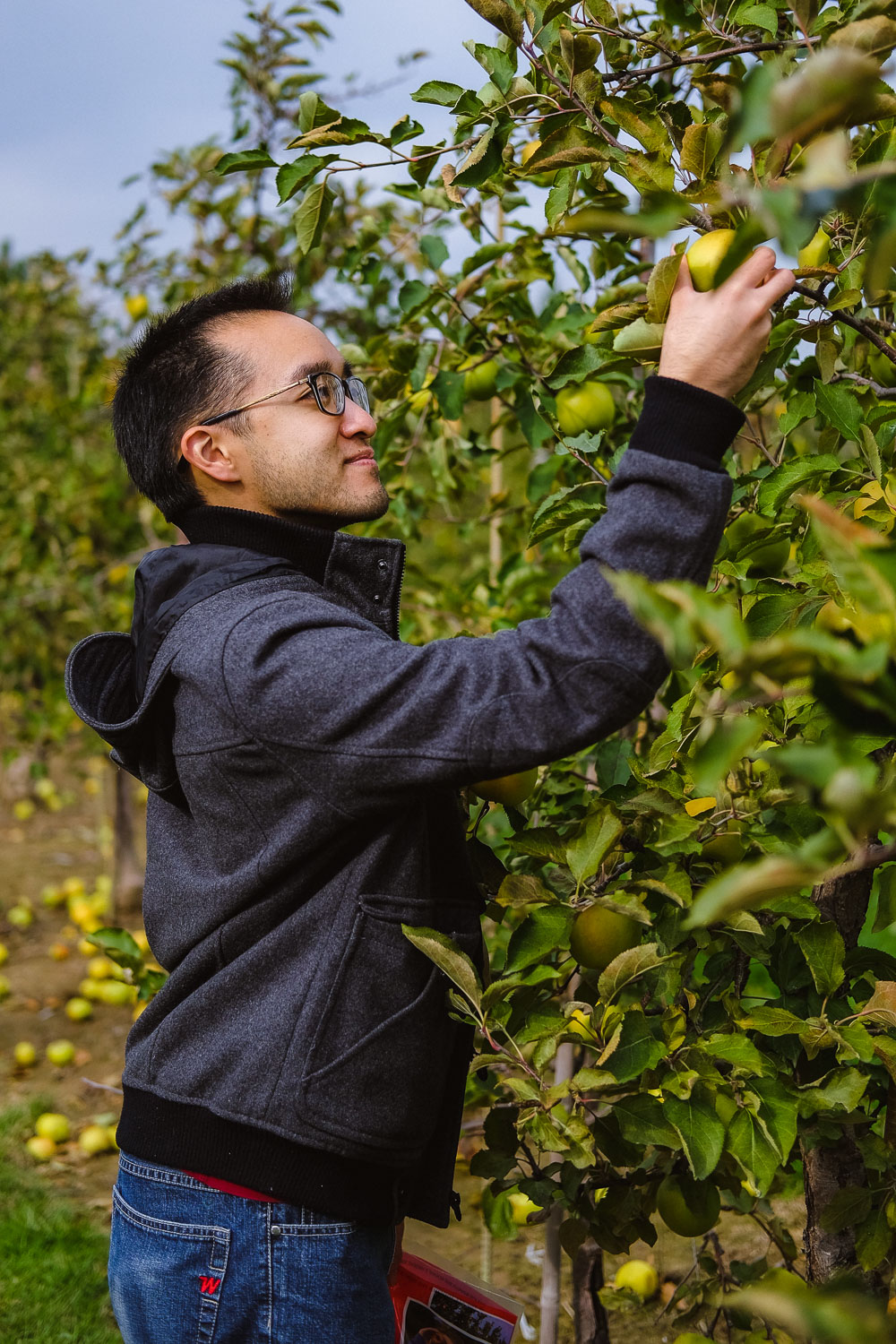 Picking some Mutsu apples in the orchard