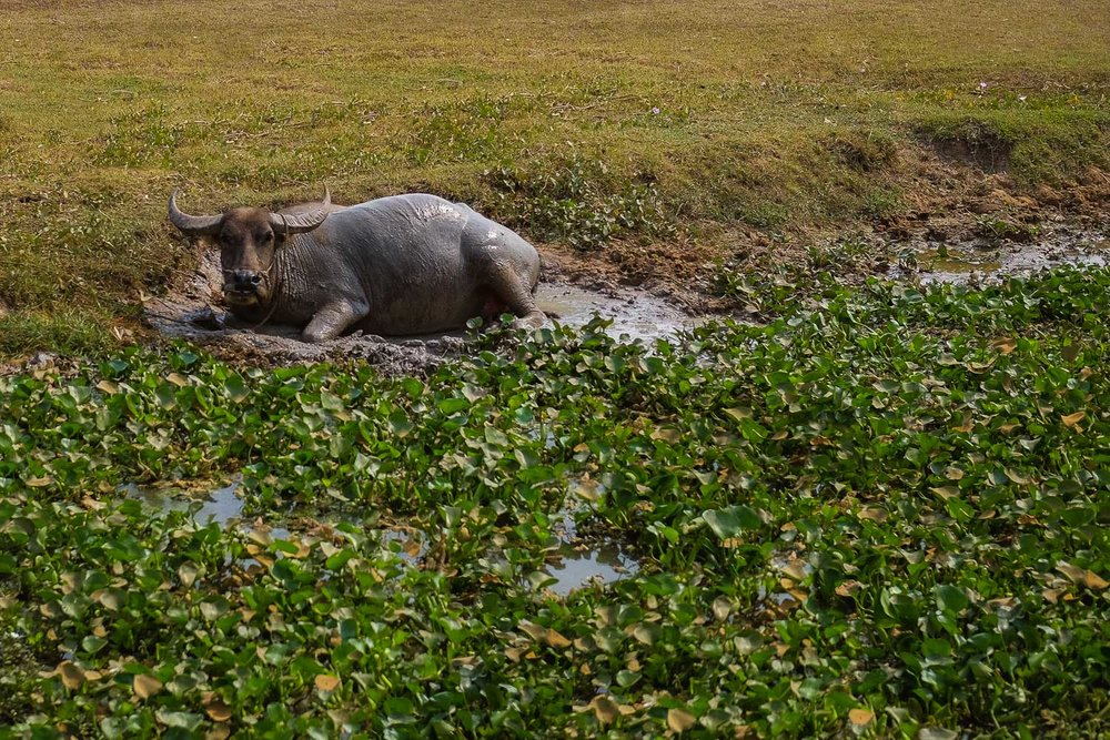 Water buffalo cooling off in the mud.    #siemreap #angkorwat #travelguide #travelblog #siemreapitinerary #cambodia #travelphotography #landscapephotography #fujifilm #siemreapprivatetour