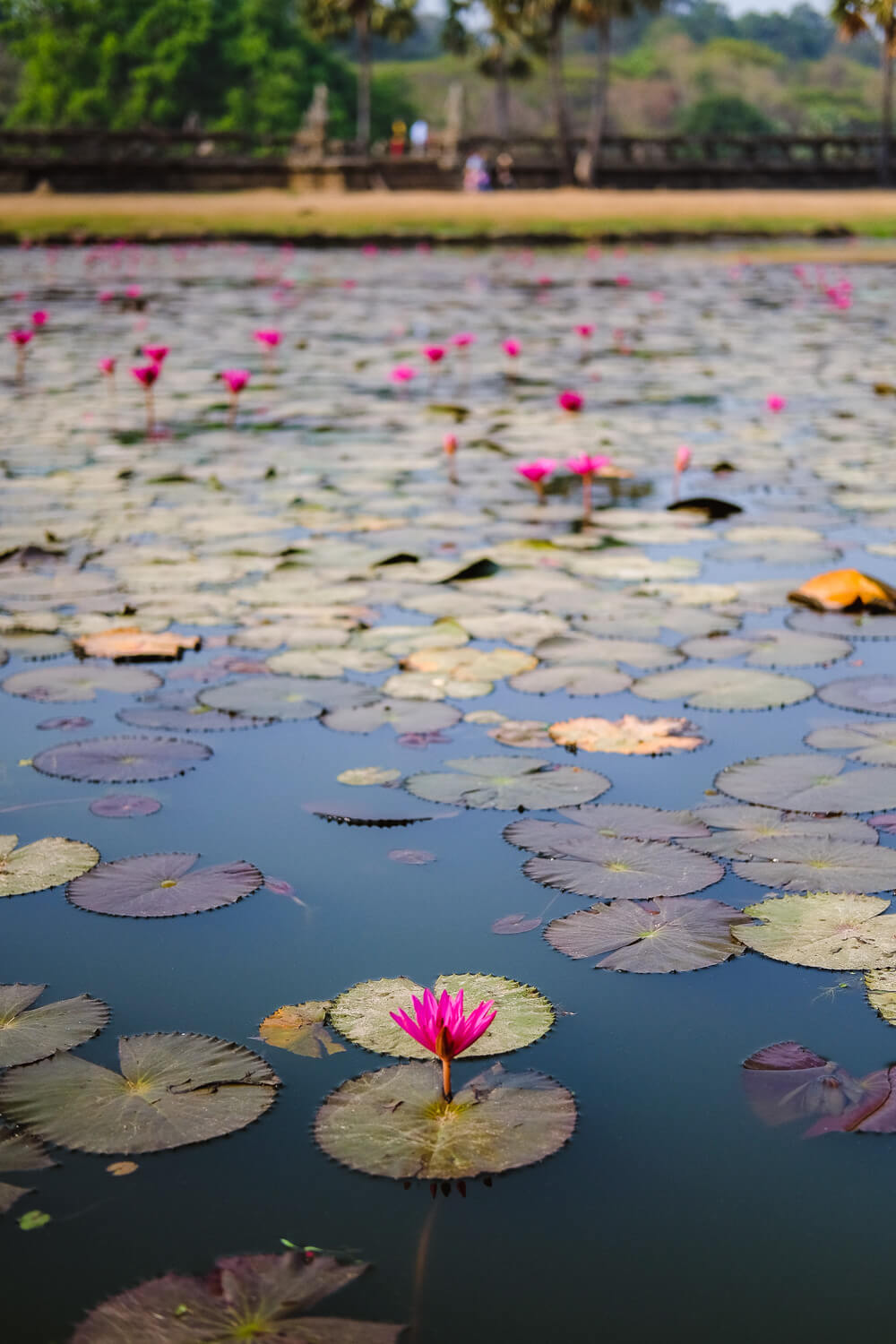 Lily pond outside of Angkor Wat