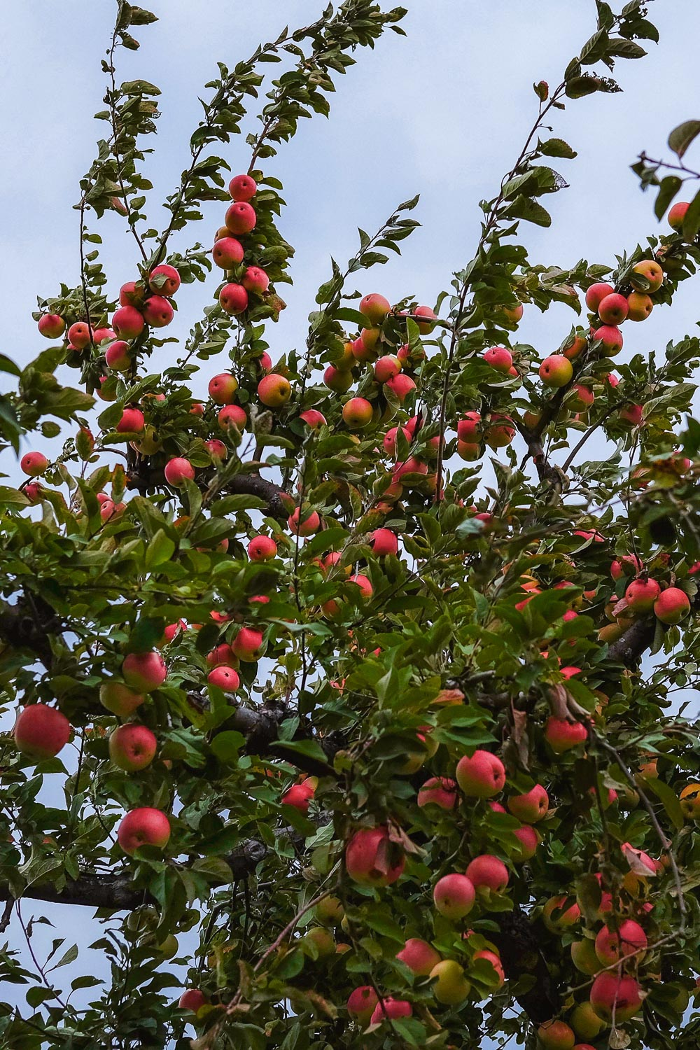 Apples for picking at Chudleigh's Apple Farm