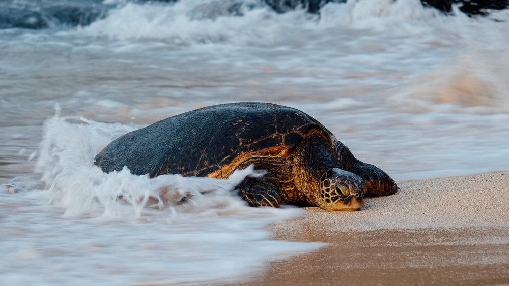 A sea turtle crawls ashore