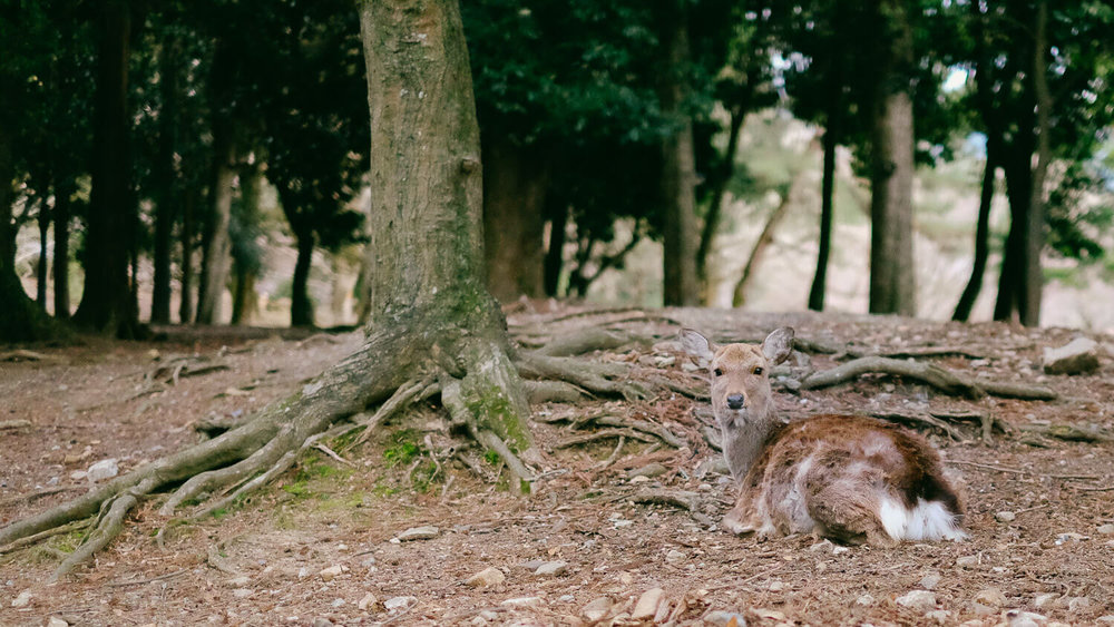 "A deer relaxing in Nara. Travel photography and guide by © Natasha Lequepeys for ""And Then I Met Yoko"". #japan #japanitinerary #travelblog #fujifilm #asia"