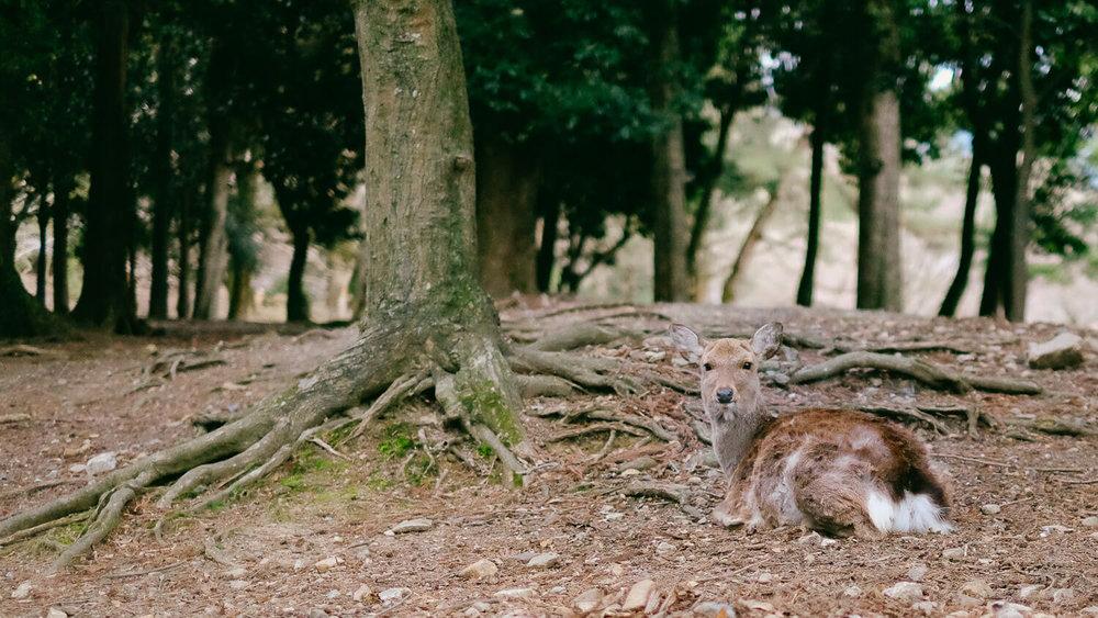 A deer relaxing in Nara