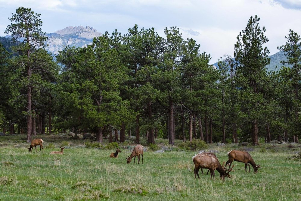 "Deer grazing, RMNP. Travel photography and guide by © Natasha Lequepeys for ""And Then I Met Yoko"". #colorado #usa  #rockymountainnationalpark #landscapephotography #coloradoitinerary #fujifilm"
