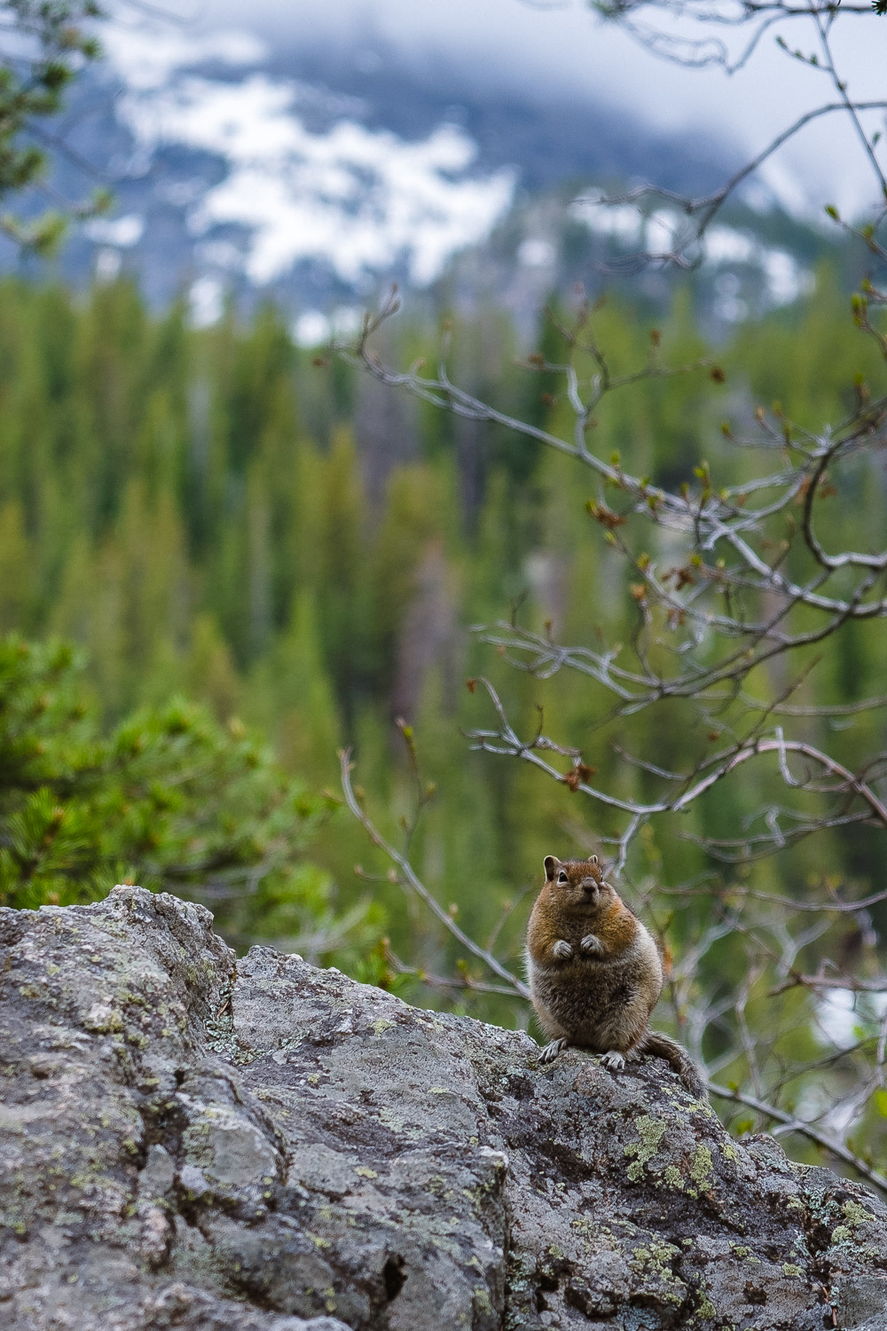 Curious chipmunk at Bear Lake in RMNP