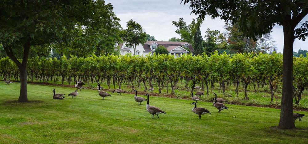 Some Canadian geese saying hi