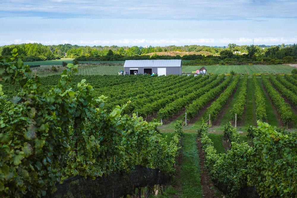 The vineyard at Ravine Winery