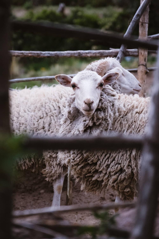 "Sheep on Amantani Island. Travel photography and guide by © Natasha Lequepeys for ""And Then I Met Yoko"". #peru #laketiticaca #amantani #taquile #homestay #culturalexperience #photoblog #travelblog #travelphotography #fujifilm #travel #travelperu #southamerica #allwaystravel #laketiticacaitinerary #puno #uros #floatingislands #pachamama #pachatata"