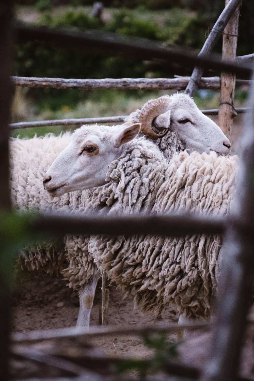 "Sheep, Amantani Island. Travel photography and guide by © Natasha Lequepeys for ""And Then I Met Yoko"". #peru #laketiticaca #homestay #photoblog #travelblog #fujifilm"