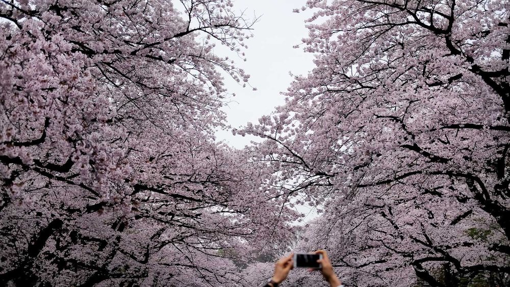 """Man takes picture of cherry blossoms in Ueno Park, Tokyo. Travel photography and guide by © Natasha Lequepeys for """"And Then I Met Yoko"""". #japan #japanitinerary #tokyo #osaka #travelblog #travelphotography #landscapephotography #travelitinerary #fujifilm #kyoto #nara #oaska #travelguide #asia #foodphotography #japantravel #japanfood #ryokan #cherryblossom #springtravel"""