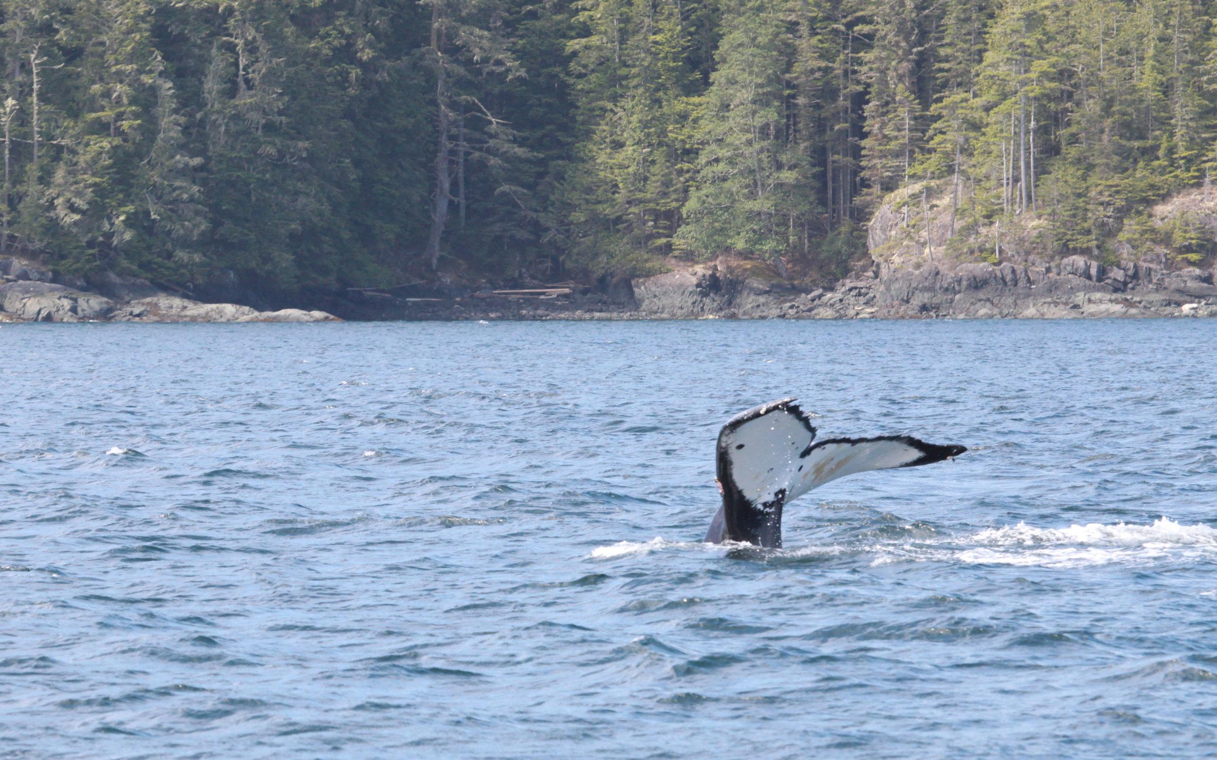 Humpback Whale: Guardian