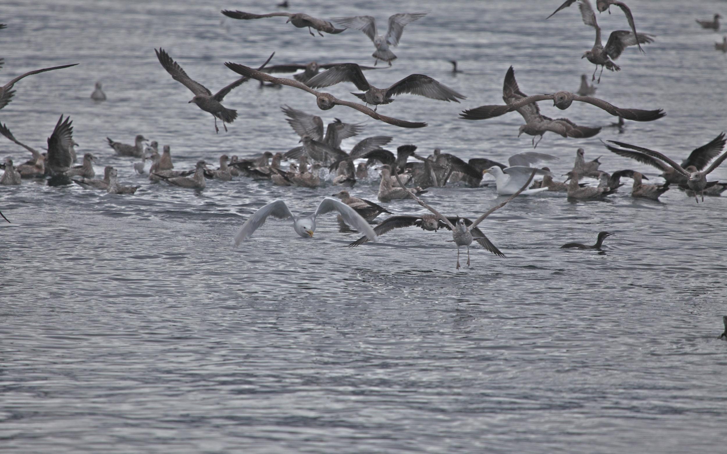 Gulls feeding on a herring/bait ball