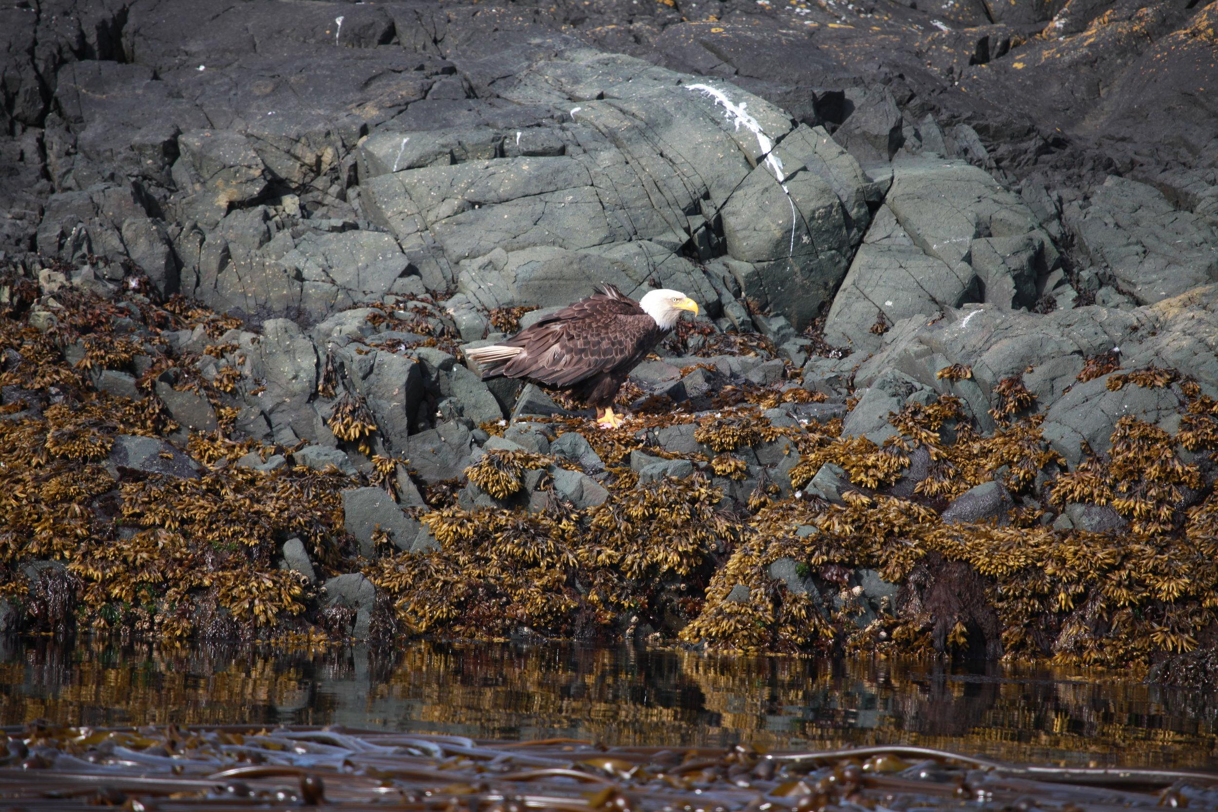 Bald eagle feeding on salmon