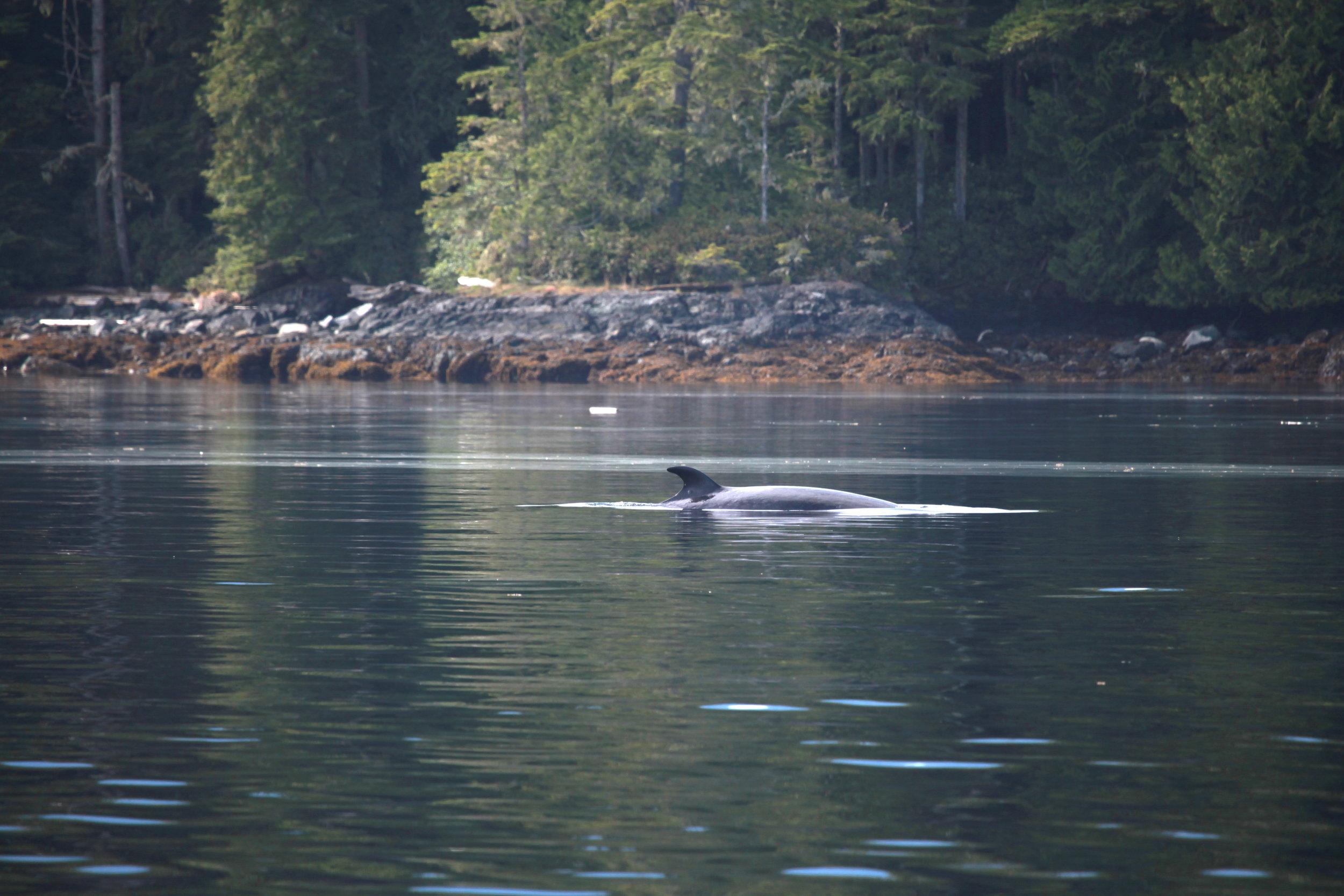 Minke whale: Galaxy
