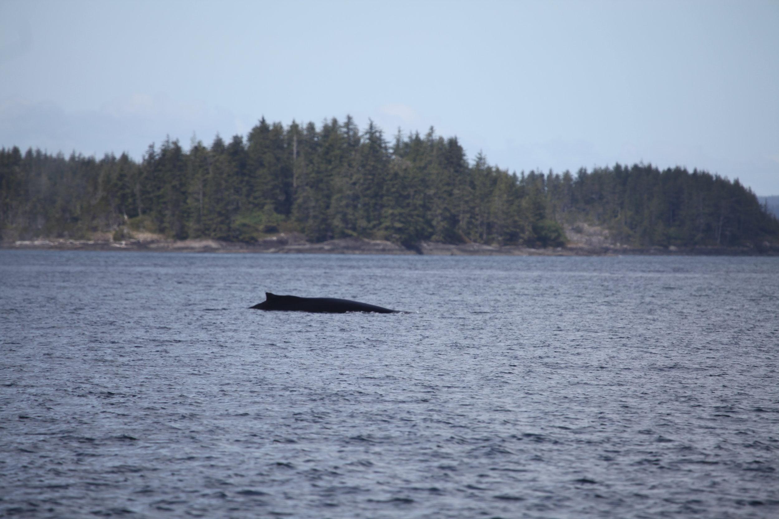Humpback Whale: Black Pearl