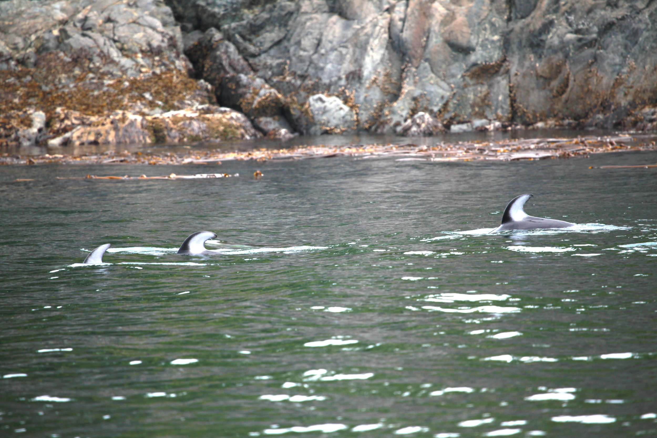 pacific white-sided dolphins feeding