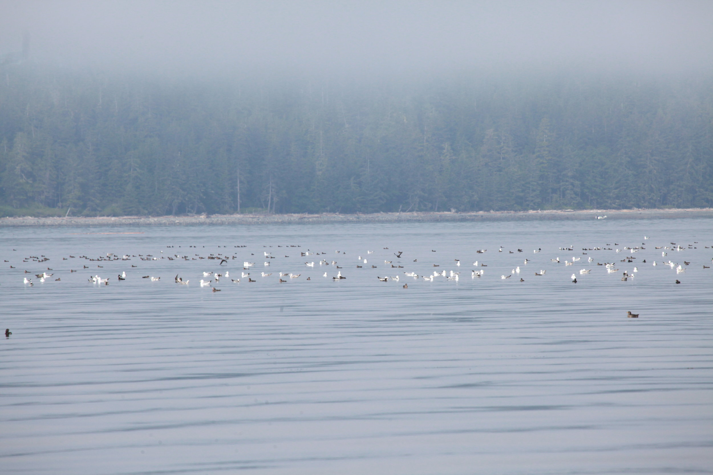 Birds out in the Queen Charlotte Strait