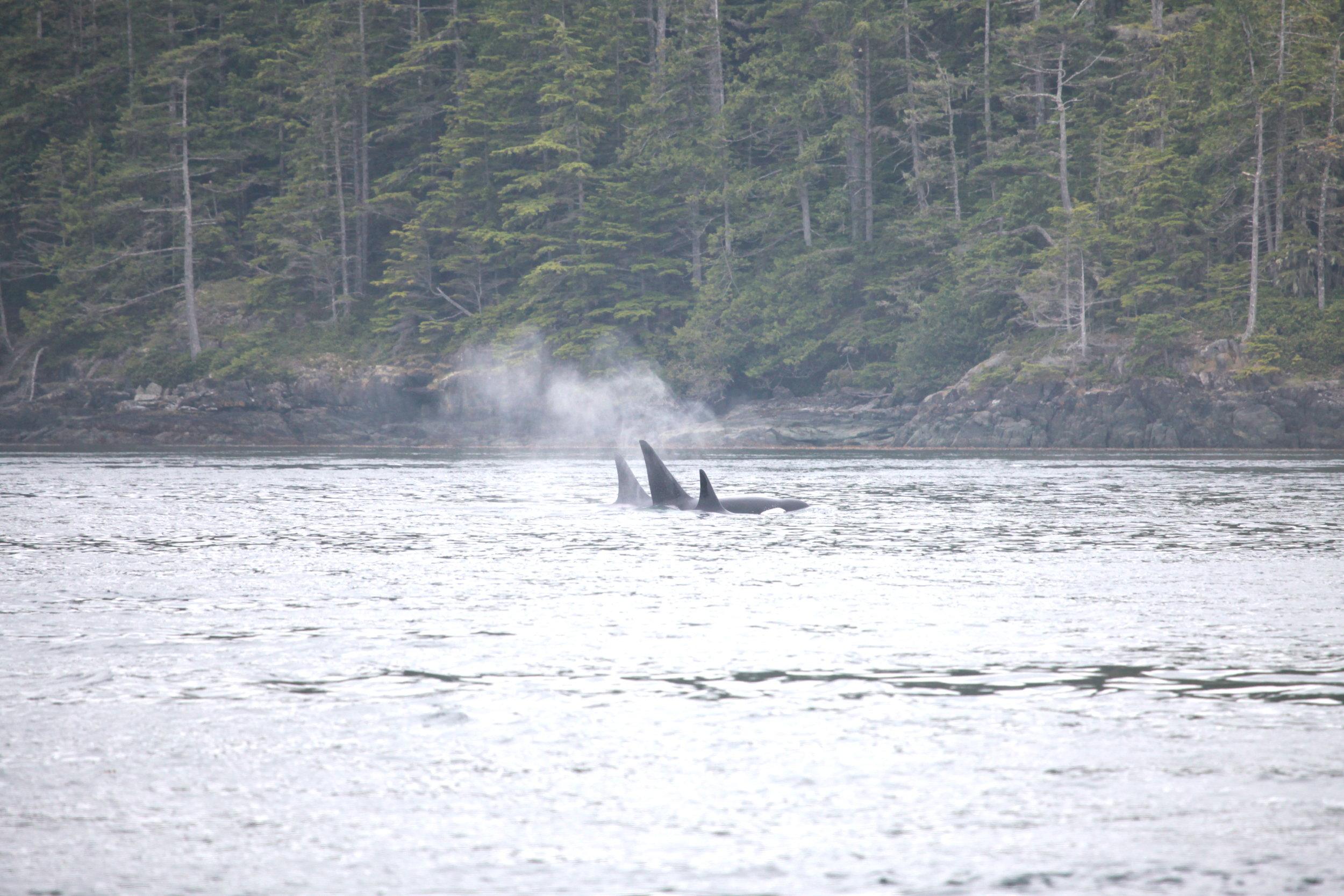 Bigg's (Transient) orcas T101's