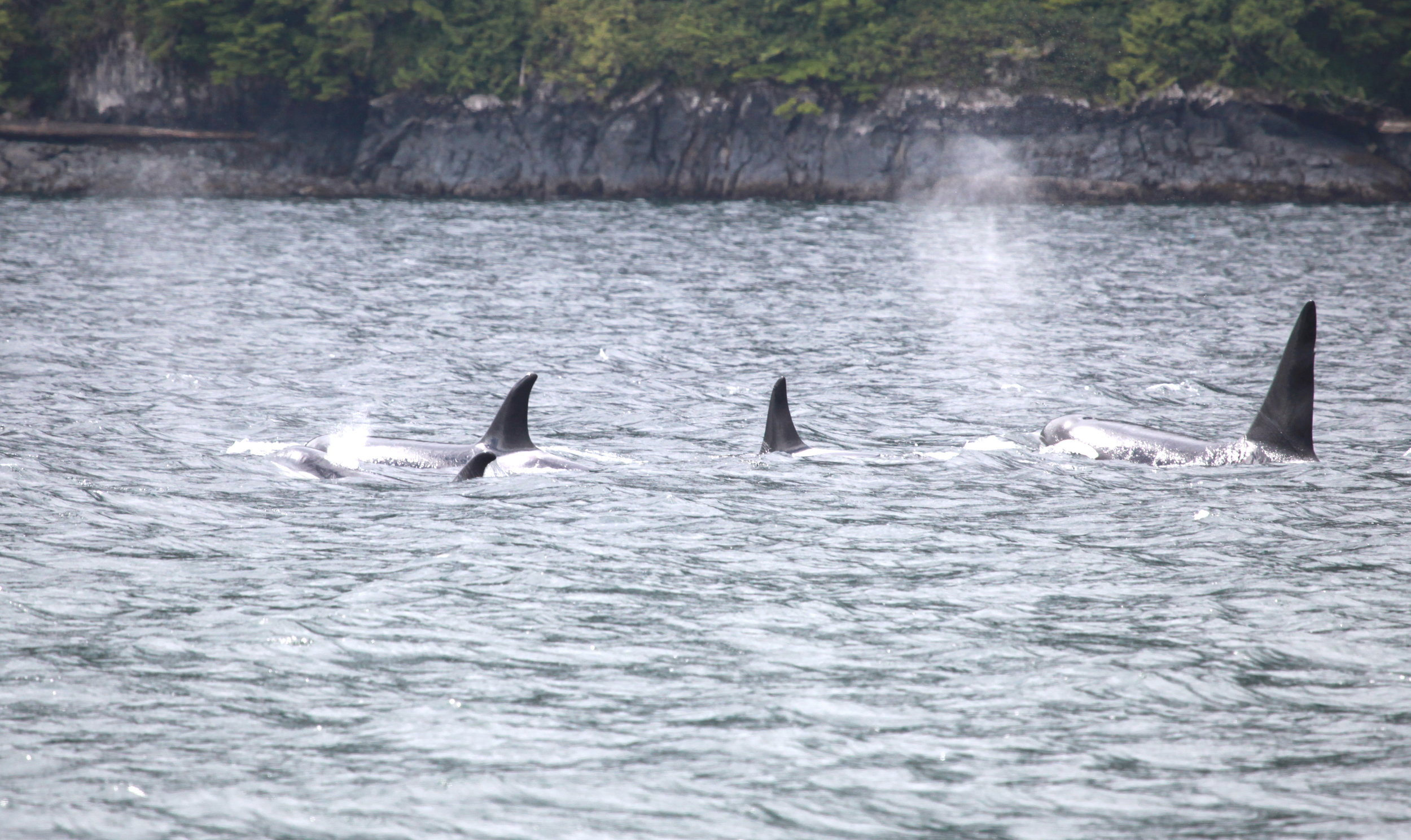 A23's travelling east in Johnstone Strait