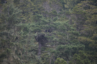 Eagles nest with 2 fledglings