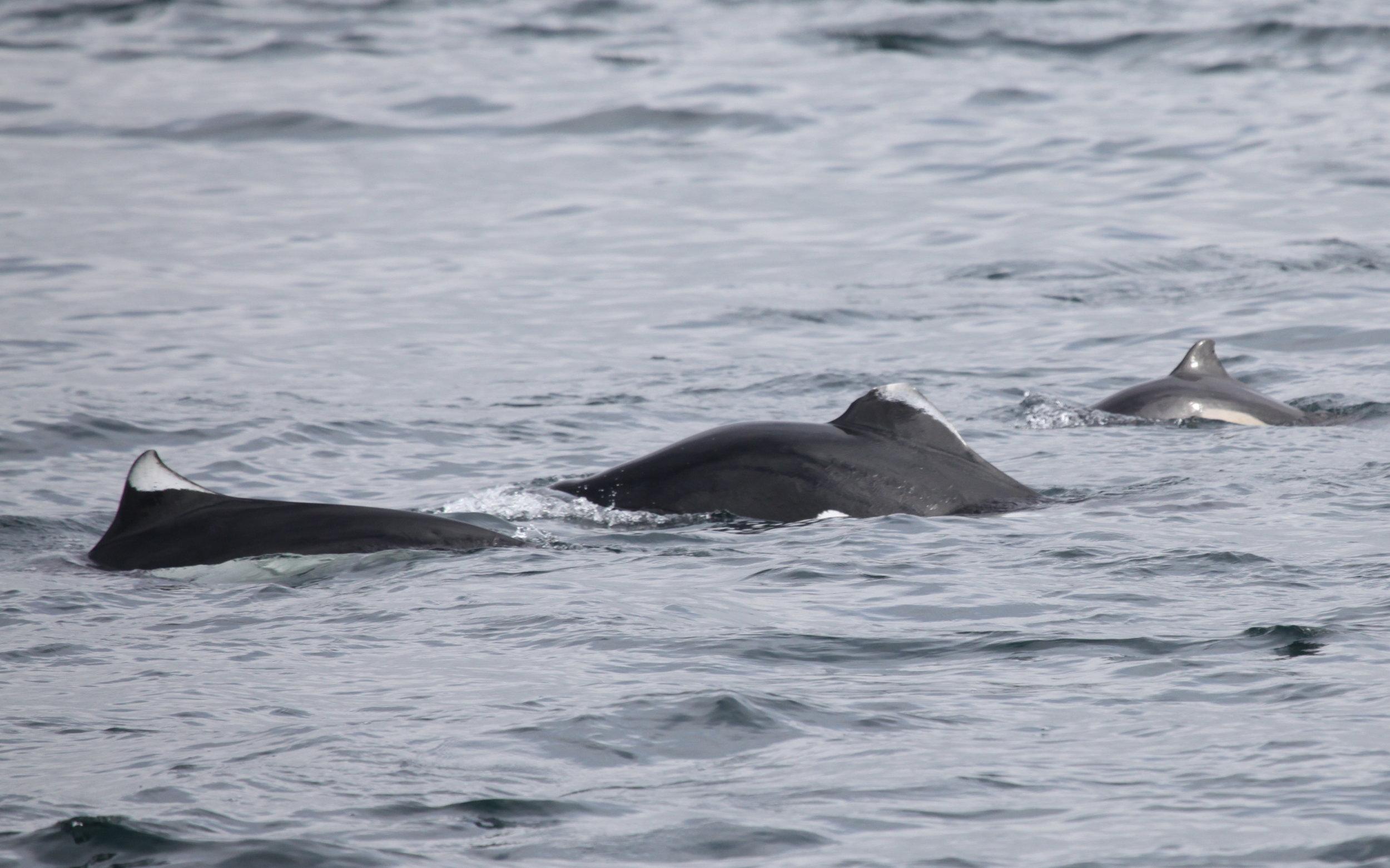 Dall's Porpoises + calf