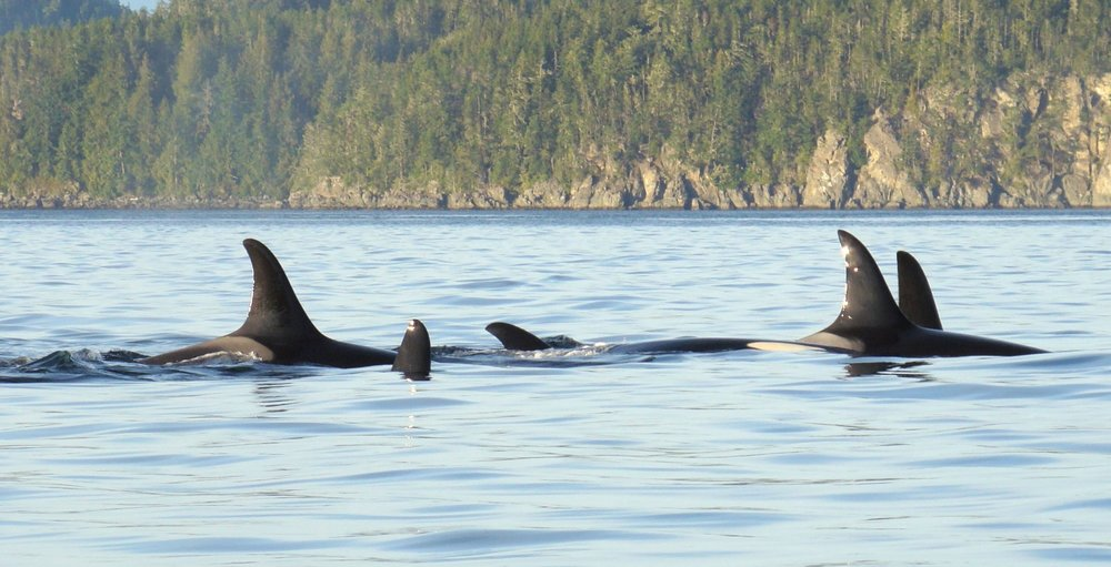 1 orca resting line 16x9crwm.jpg