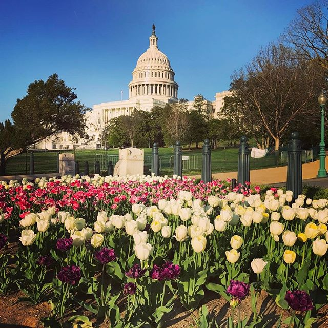 The Capitol Dome on my walk home. Soaking up every ounce of Spring before the hot & humid days of D.C. weather begin. . . #seenindc #capitoldome #dc #washingtondc #spring #florals #sunset #actorlife #djlife #entrepreneur #breathe #iphone7plus #10000steps #eveningwalk #hashbrown #letshearitforspring